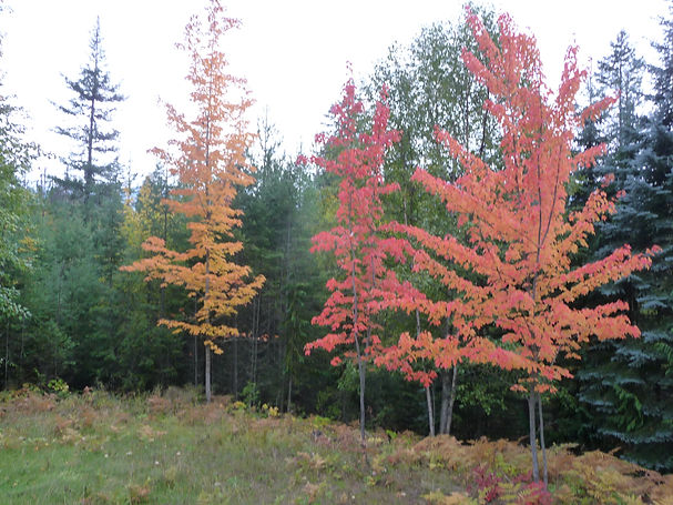 Maples in the fall.