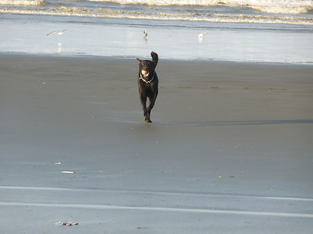 Black Lab with ball on beach.