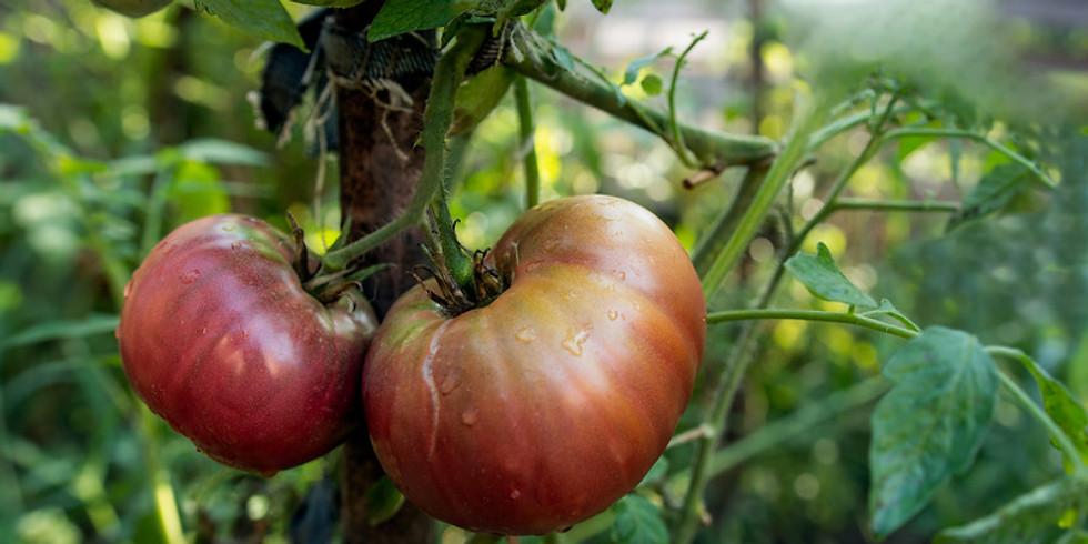 9th Annual Tomato Contest