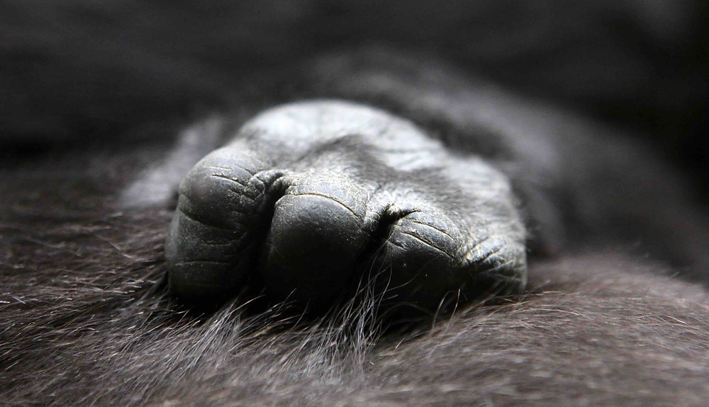 Gorilla hand clings to fur