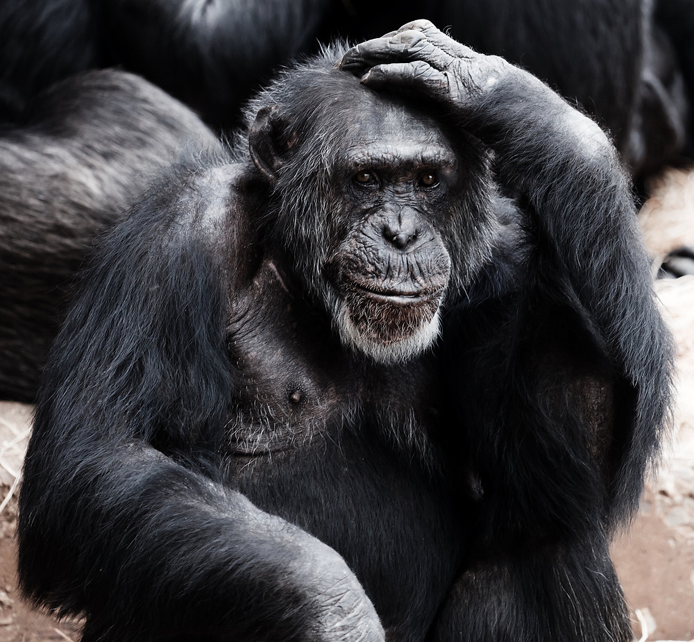 Chimpanzee with his head in his hands