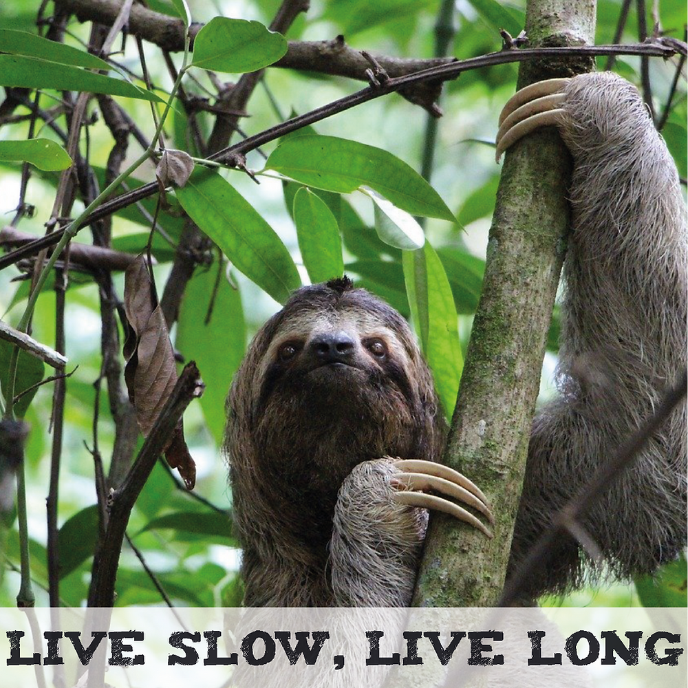 Sloth on a tree, Live Slow, Live Long.