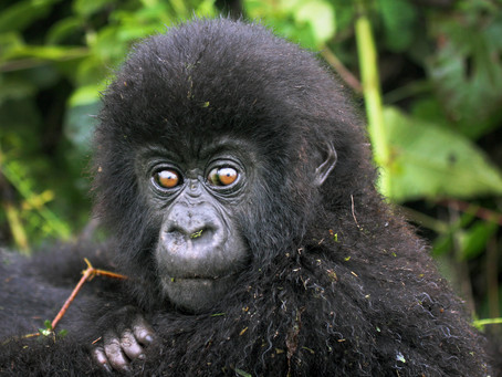 Tourists Help Save Gorillas in Congo