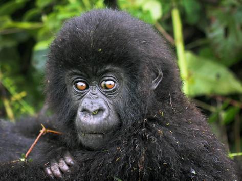 Tourists Help Save Gorillas in Congo