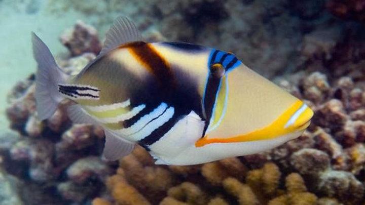 Huma Huma or Picasso Triggerfish