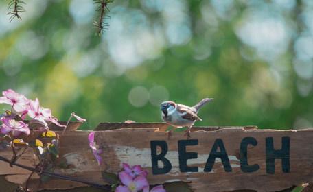 Beach Sparrow