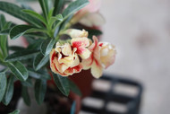 欣禾沙漠玫瑰園