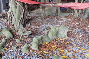 開臺聖王府300年老榕樹樹瘤