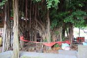 開臺聖王府300年老榕樹