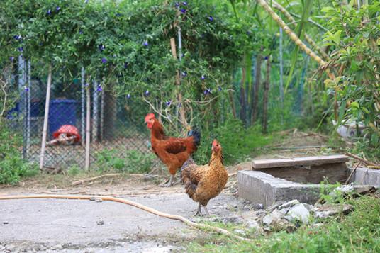 泊岸居民宿愜意的雞隻