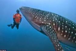 Whale shark Day 6