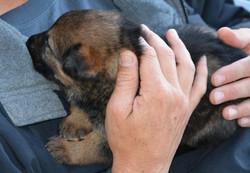 puppy Hemi