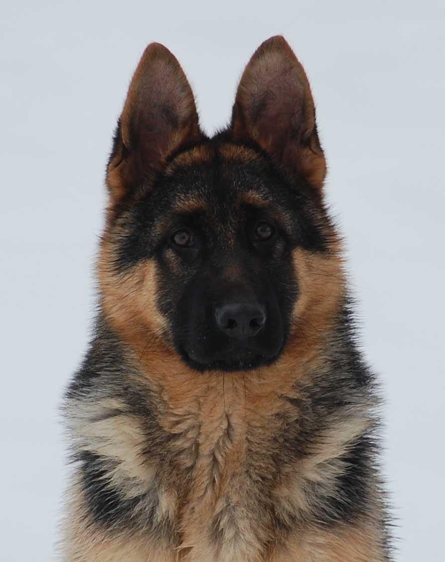 Axxie's puppy head photo