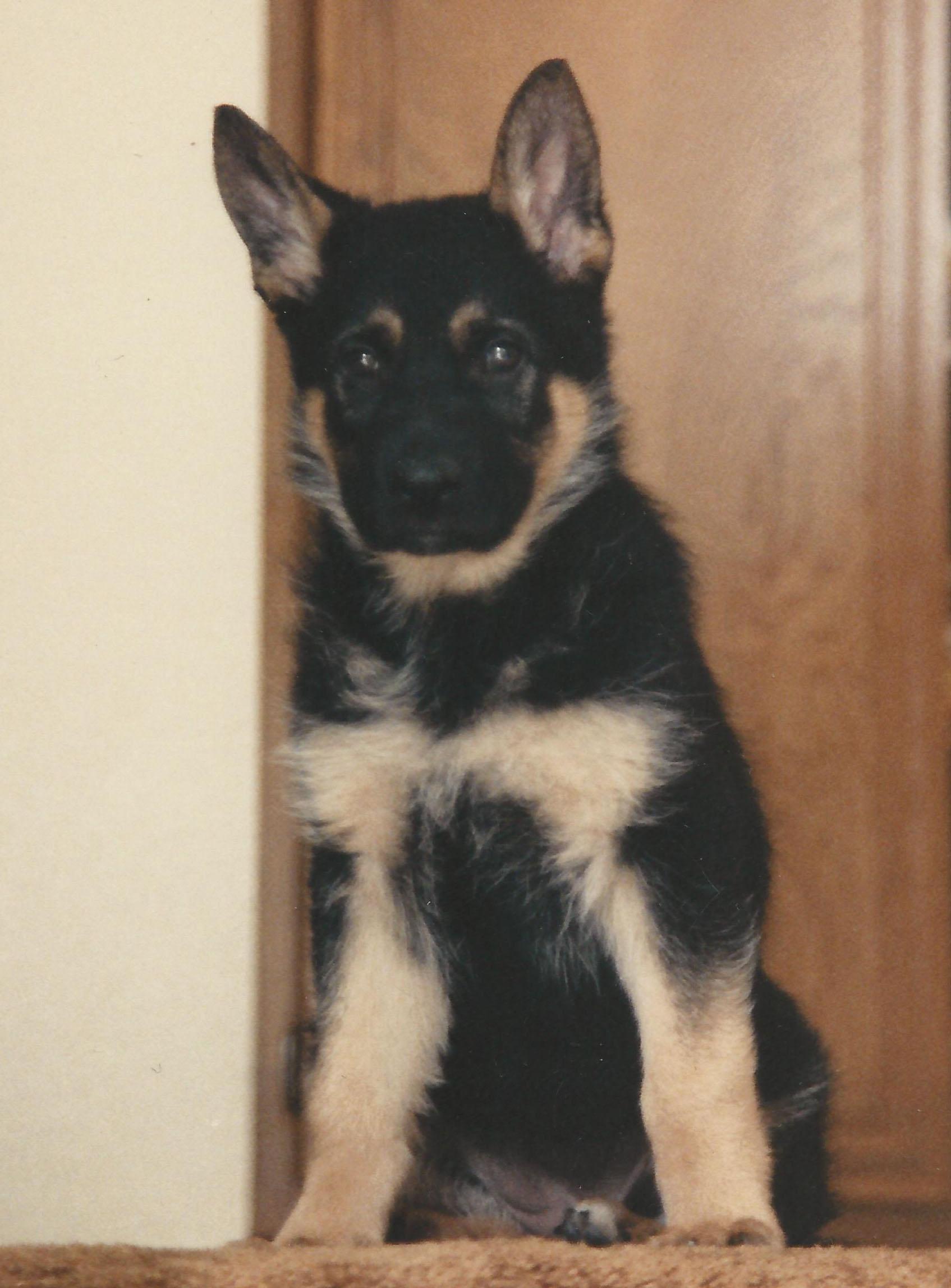 Pascha as a puppy