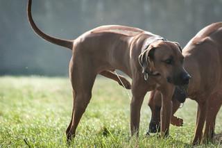 Blasenentzündung beim Hund- So helfen homöopathische Arzneien
