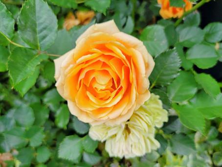 最近のバラはすっごくきれいですね!