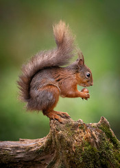 2019RFNHM_PRINT_019 - Red Squirrel by Ross McKelvey.  Highly Commended