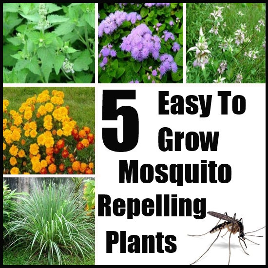 5 Easy To Grow Mosquito Repelling Plants Simple Elegancehome Woodland Hills Ca Elegance Landscape Design