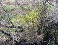 thicket XXVI
