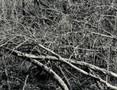 thicket XVII