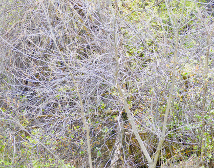 thicket XX