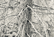 thicket XXII