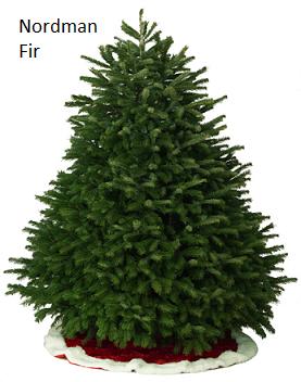 Nordman Fir