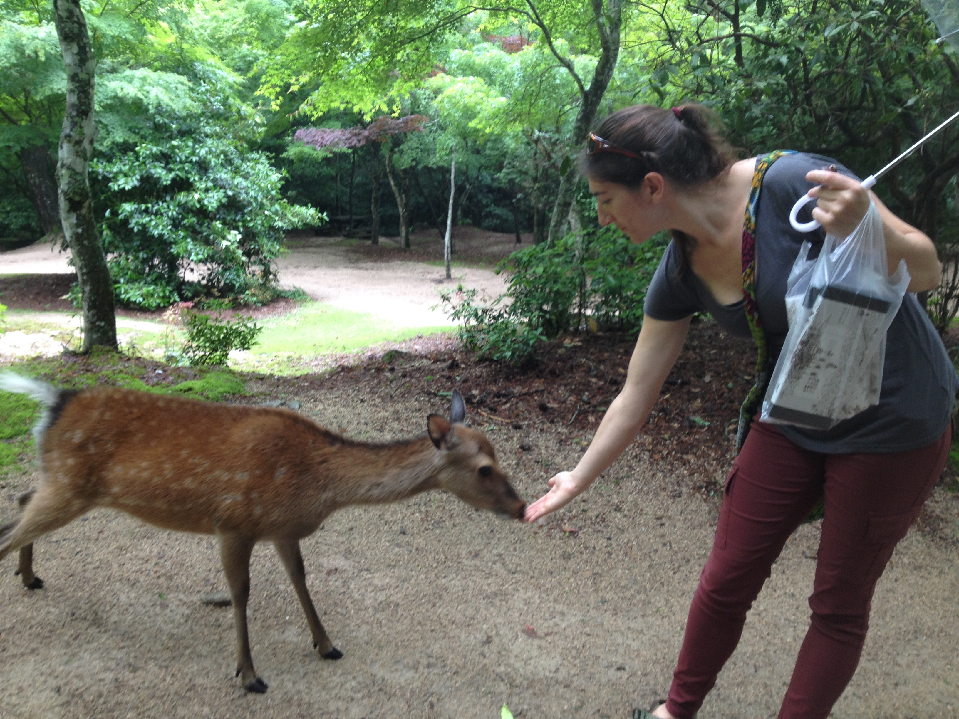 Curious deer in Japan
