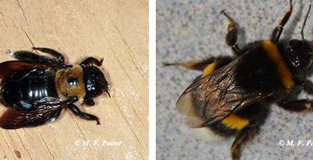 Carpenter Bees: The Fearless Pollinator