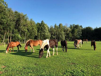 Herd in pasture at Spirit's Whisper Ranch