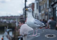 Lessor Black Backed Gull