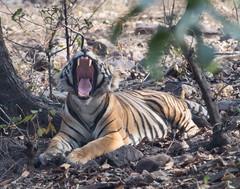 Bengal Tigar - Predator - definately