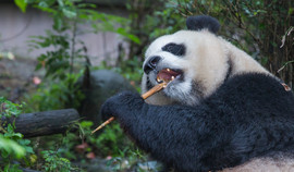 Giant Panda - Predator - check out these teeth