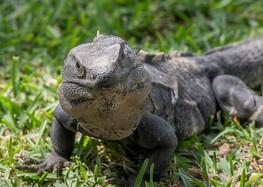Iguana Lizard, Mexico