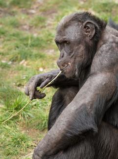 Chimpanzee - Cool Dude