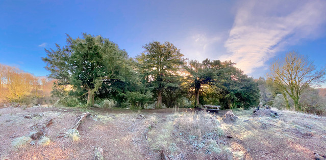 Yew Trees, Downies Mound