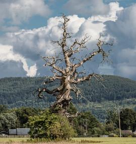 Perth - The Lightening Tree