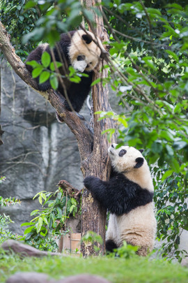 Giant Panda - Predator - maybe not