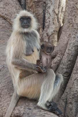 Mother and Baby, Grey Langur