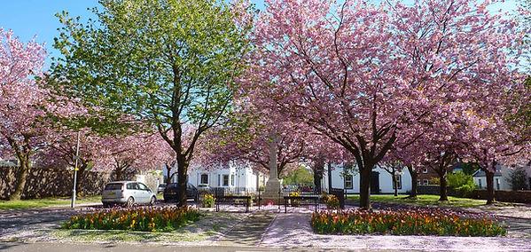 Cherry Blossom at War Memorial Lochwinnoch