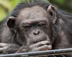 Chimpanzee - The Thinker