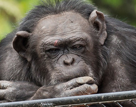 Chimpanzee - The Thinker