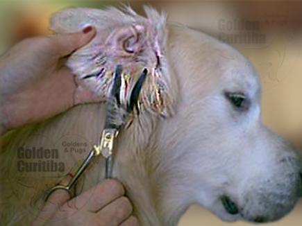 trimming orelhas golden retriever