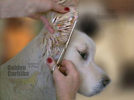 orelha golden retriever tosa específica