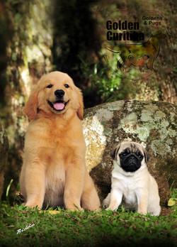 raça-golden-retriever-Pug