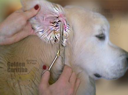 trimar orelha golden retriever