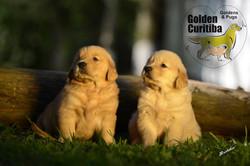 golden-retriever-filhotes