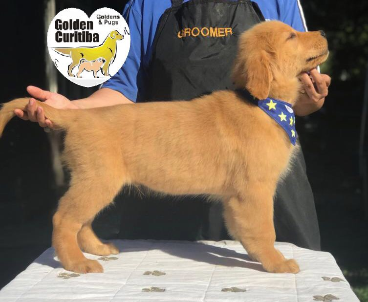 Filhotes de Golden Retriever a venda