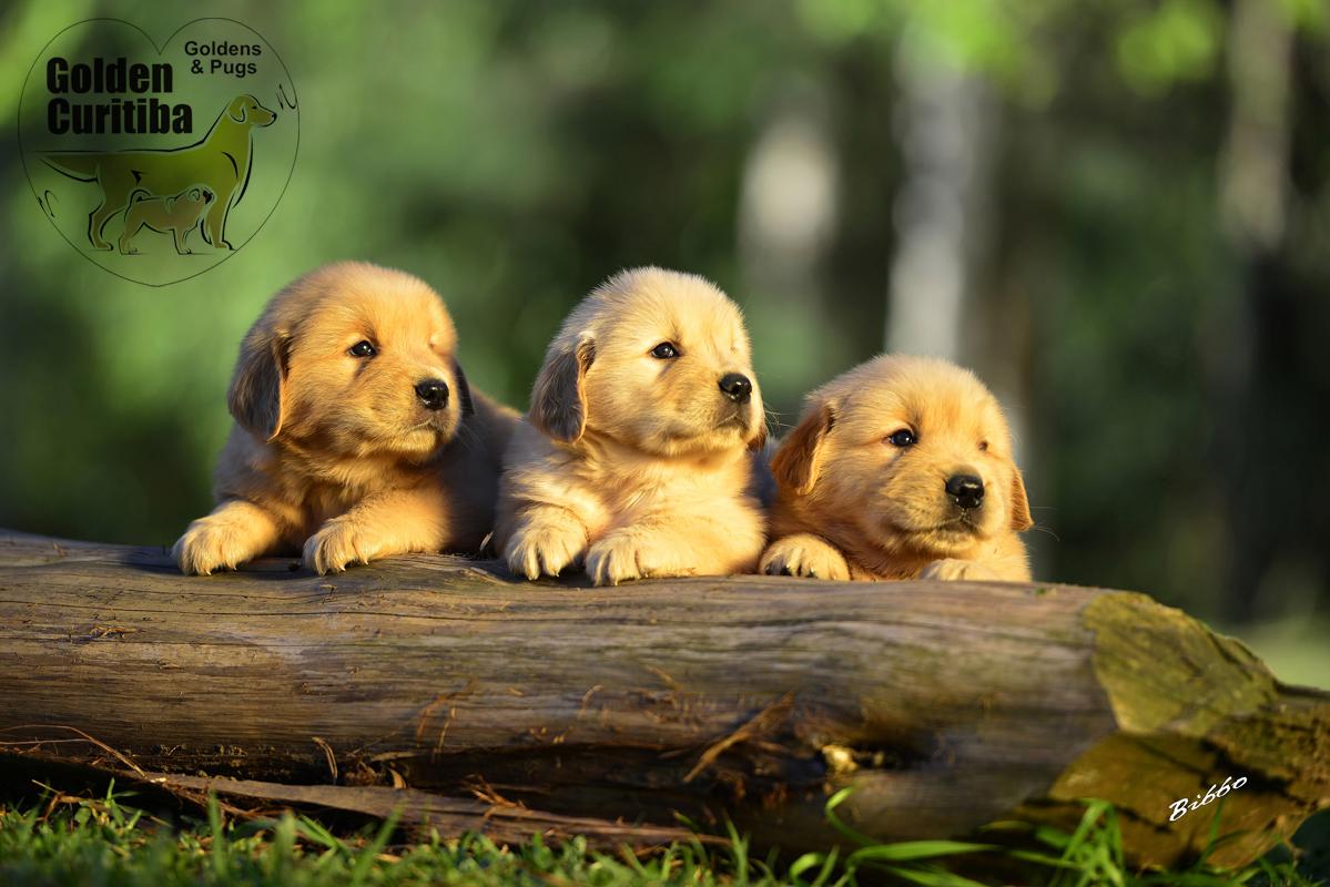 filhotes-golden-retriever