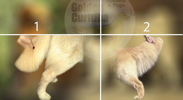 golden retriever cauda tosada